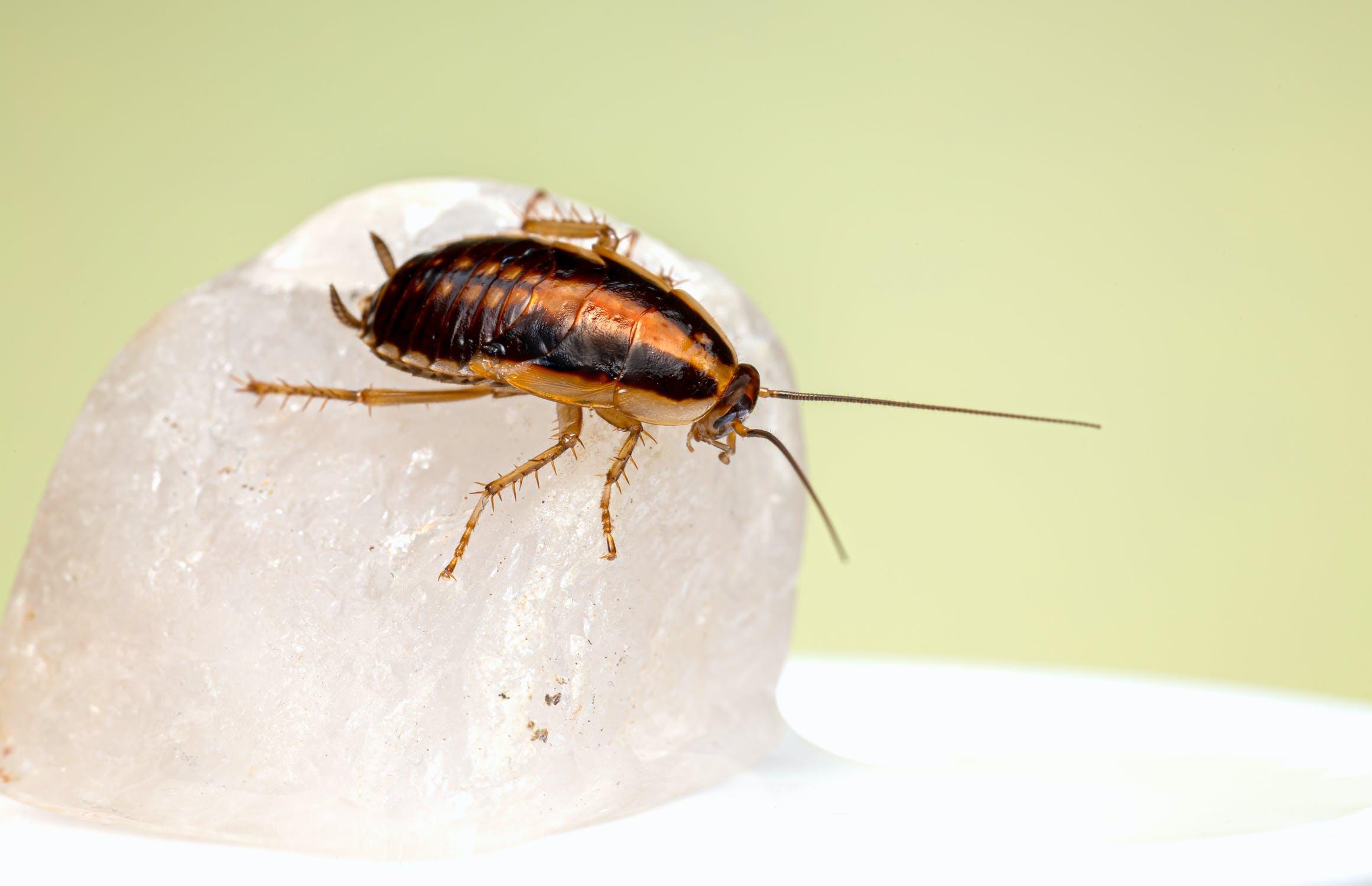 Россиян предупредили о нашествии тараканов  - новости Афанасий