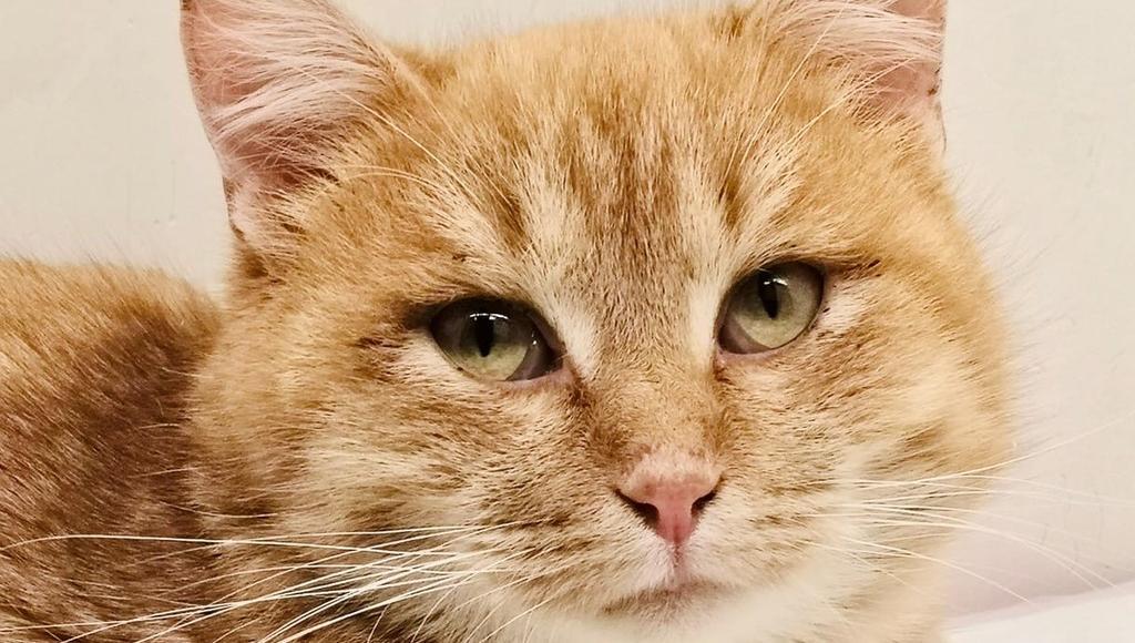 Подстреленного рыжего кота из Твери ждут на обследование в Москву - новости Афанасий