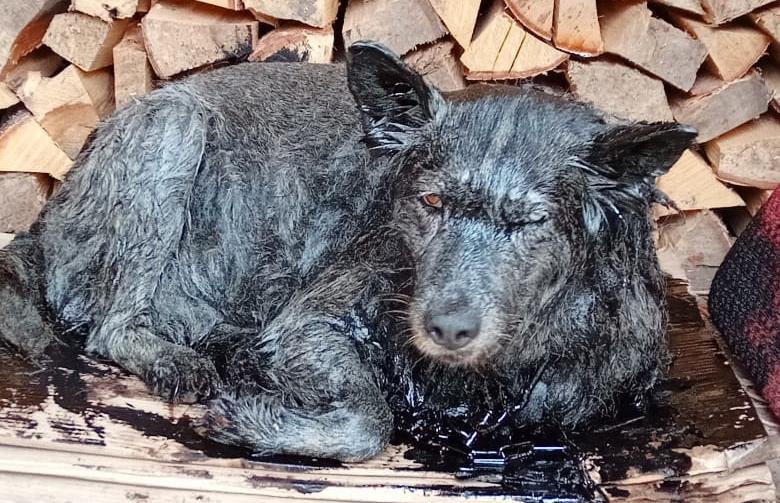 В Тверской области спасли собаку, которая провалилась в битумную яму