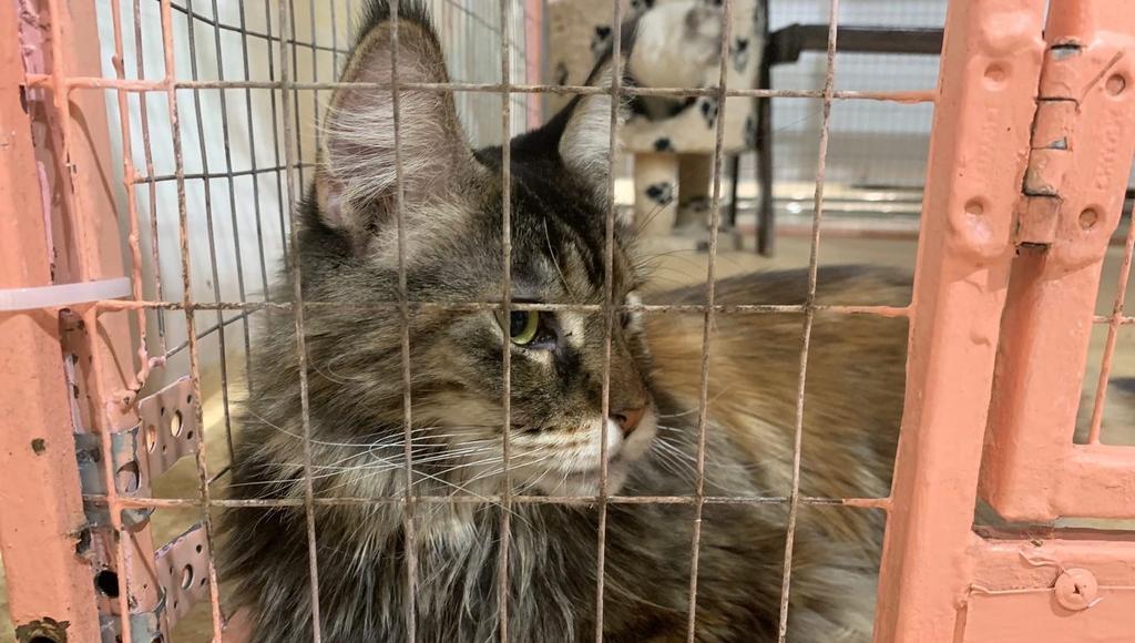 В Твери у жителей обманом выманивают кошек для использования на выставке - новости Афанасий
