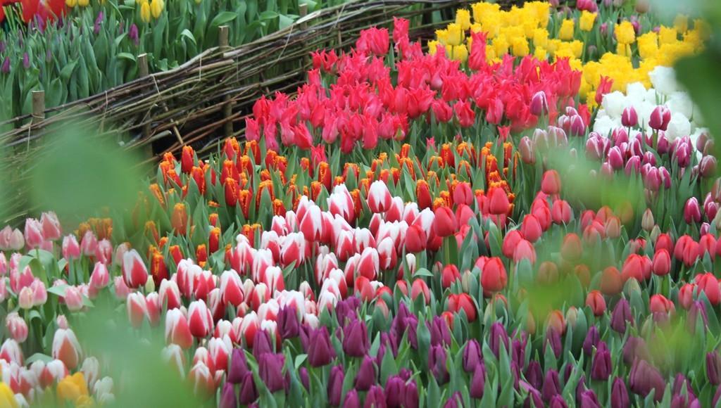 Около 100 тысяч тюльпанов вырастили к весне для жителей Твери  - новости Афанасий