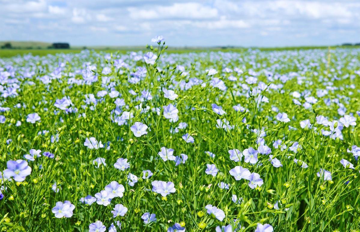 В Тверской области прошел Всероссийский день льняного поля-2020 - новости Афанасий