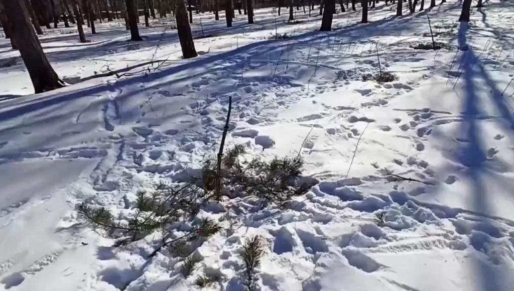 В парке в Тверской области вандалы уничтожили сосны, посаженные в память о погибших героях войны