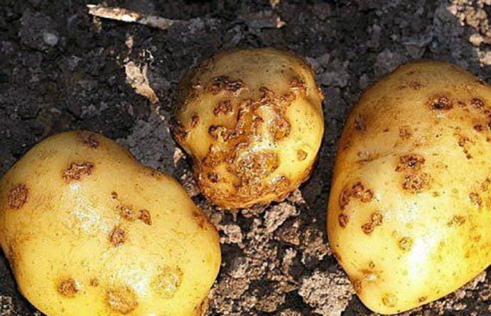 Урожаю картофеля угрожает золотистая нематода - новости Афанасий