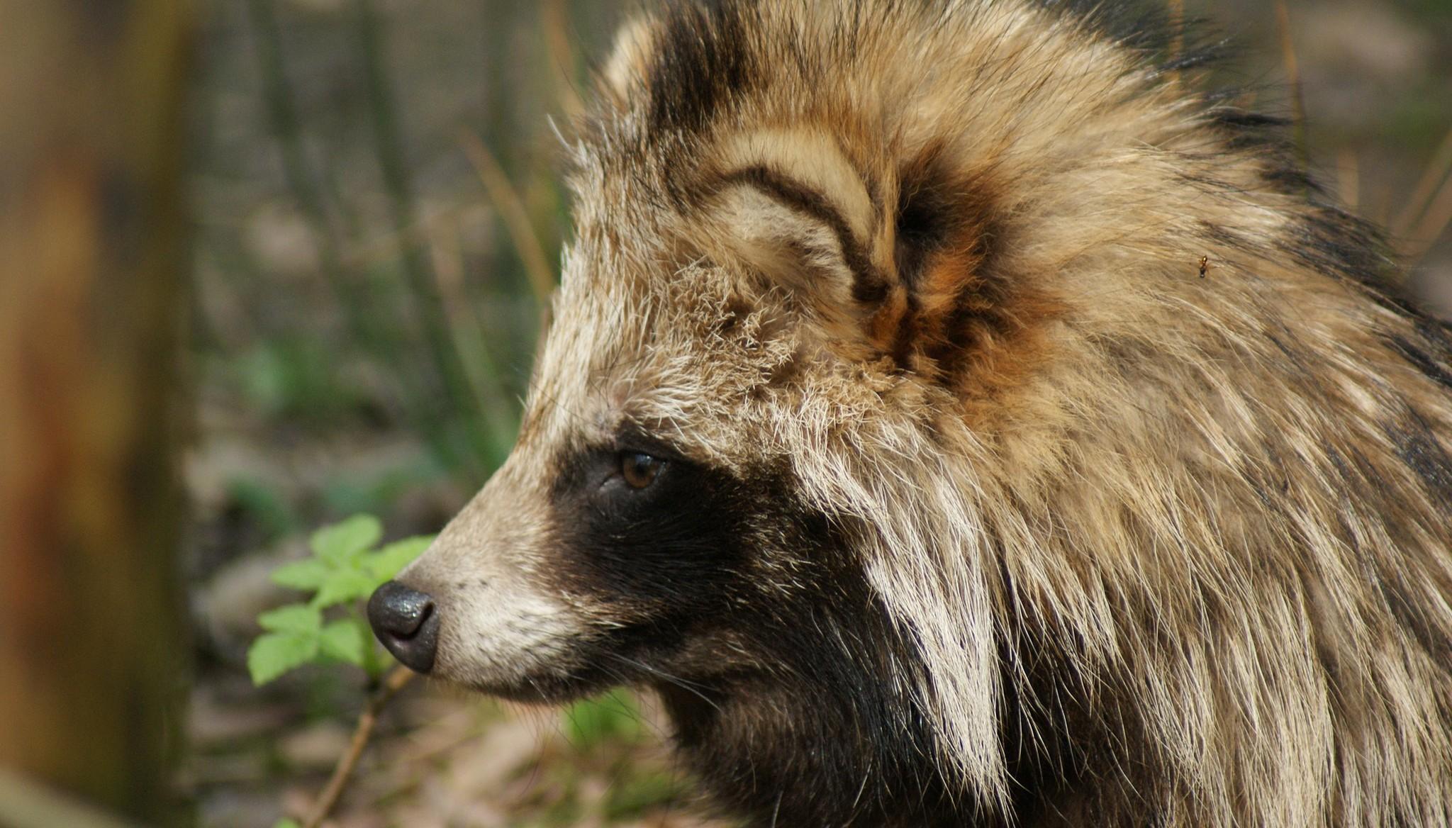 Бешеную енотовидную собаку обнаружили в регионе, сопредельном с Тверской областью
