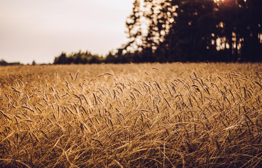 Россельхознадзор напоминает об обязательном декларировании зерновой продукции - новости Афанасий