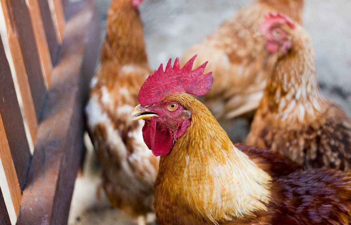Россиянам запретили разводить на садовых участках кур и свиней