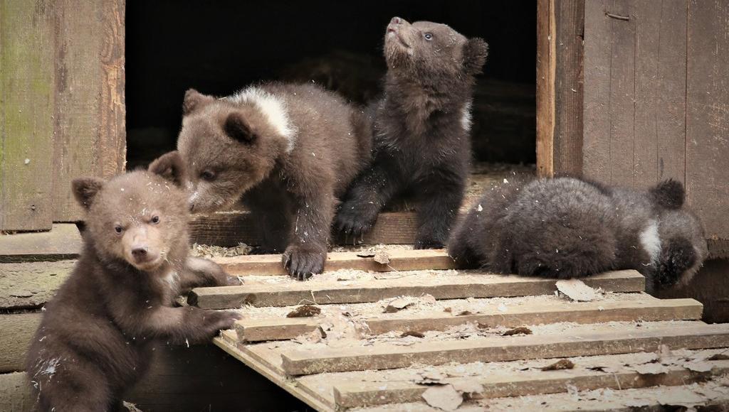 Восемь медвежат в центре Пажетновых в Тверской области привыкают к солнцу и лесу - новости Афанасий