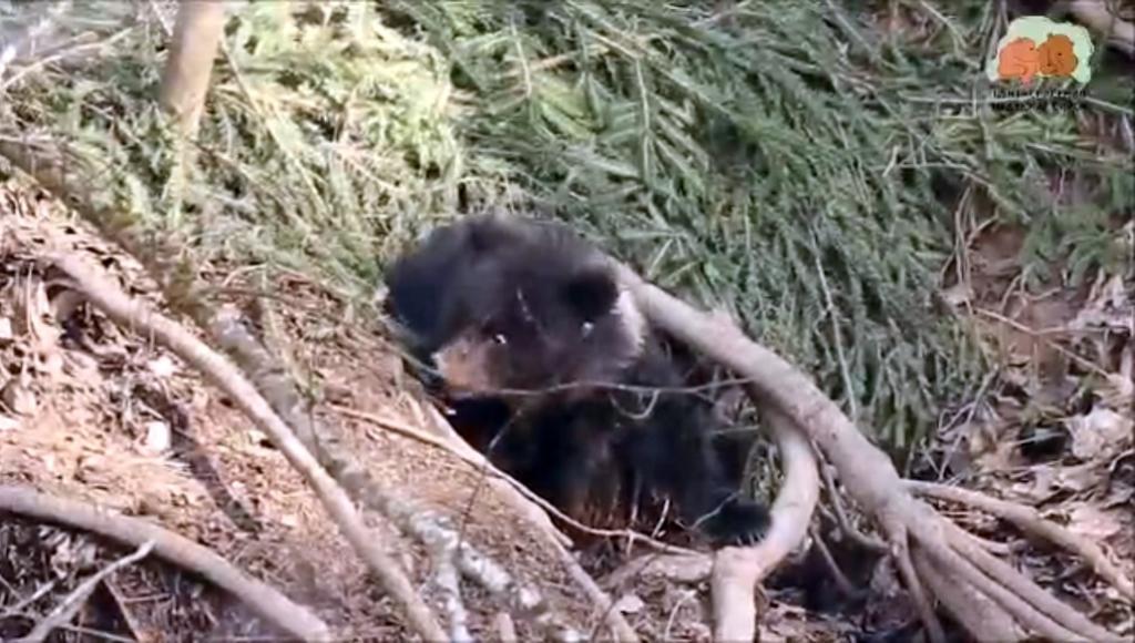 Юная медведица Пужа из Центра спасения медвежат-сирот в Тверской области выходит из спячки - новости Афанасий