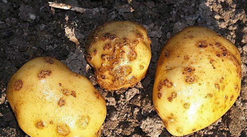 В Тверской области Россельхознадзор контролирует состояние посадок картофеля - новости Афанасий
