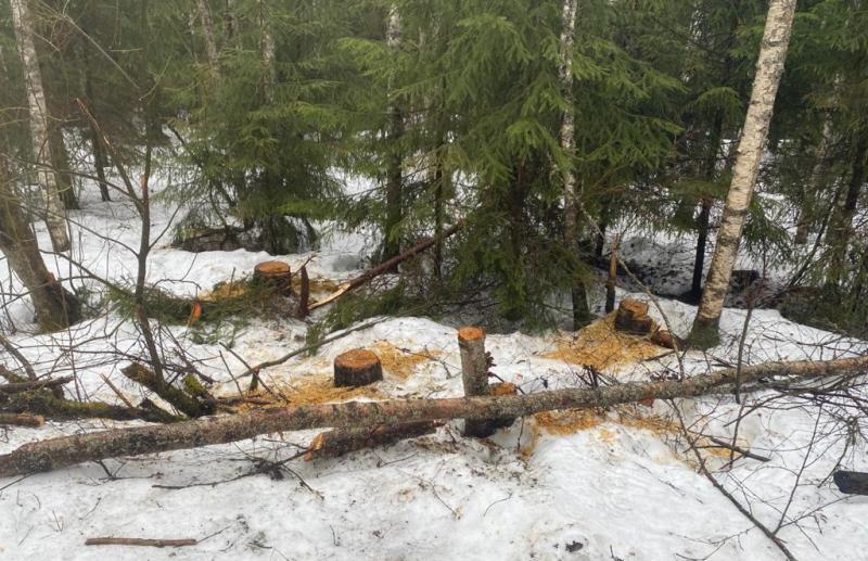 В Нелидовском районе Тверской области незаконно вырубали лес - новости Афанасий