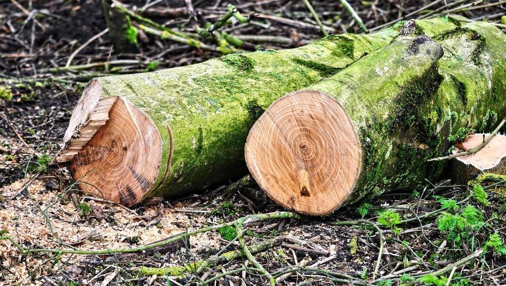 Двое жителей Тверской области незаконно спилили в лесу 10 берез