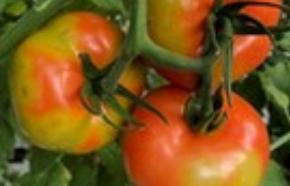 Выявлен вирус мозаики пепино в свежих томатах из Республики Беларусь - новости Афанасий