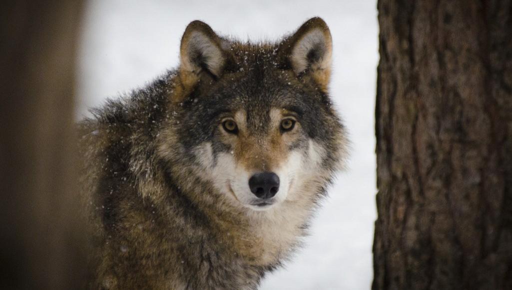 Жителей Тверской области предупреждают в соцсетях о возможности встречи с волками - новости Афанасий