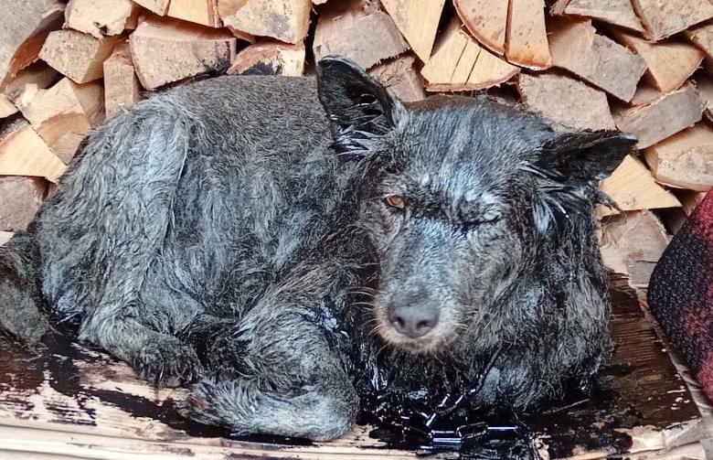 В Тверской области спасли собаку, которая провалилась в битумную яму - новости Афанасий