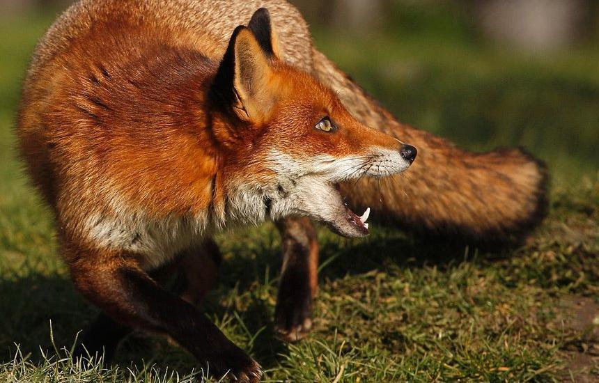 Бешенство у лисы и овцы обнаружено в Тверской области - новости Афанасий