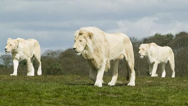 В Твери впервые на арене цирка выступят Африканские белые львы