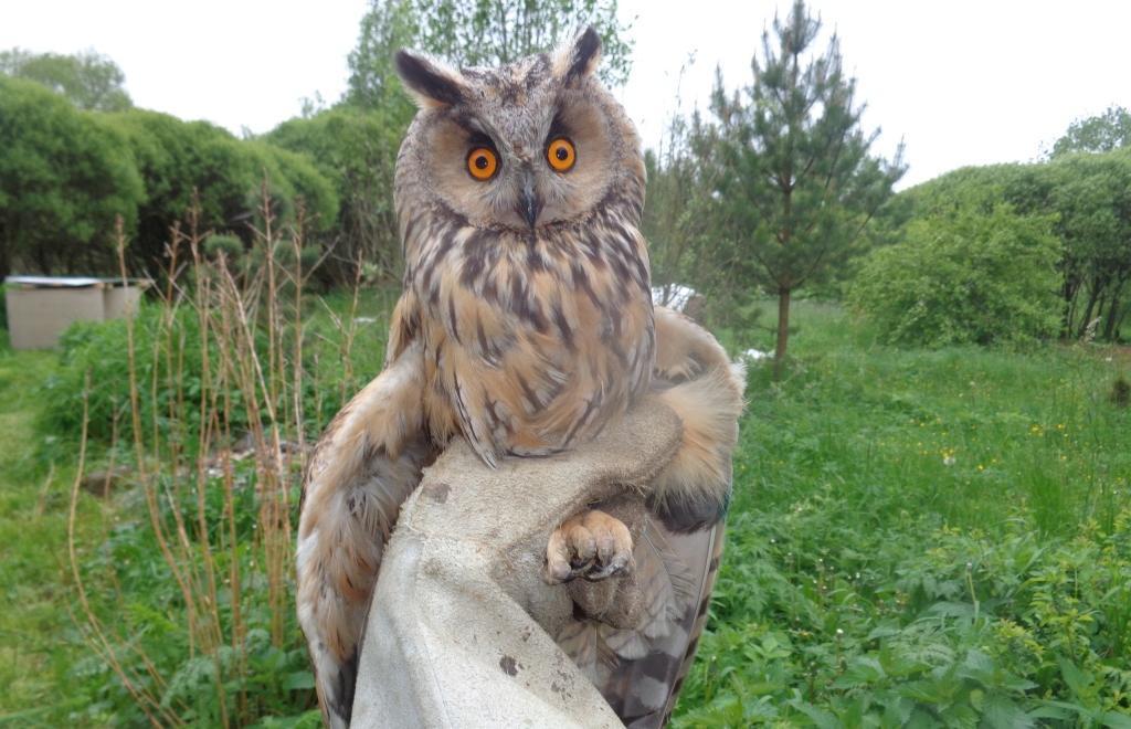 Сову со сломанным крылом выхаживают центре реабилитации диких животных в Тверской области - новости Афанасий