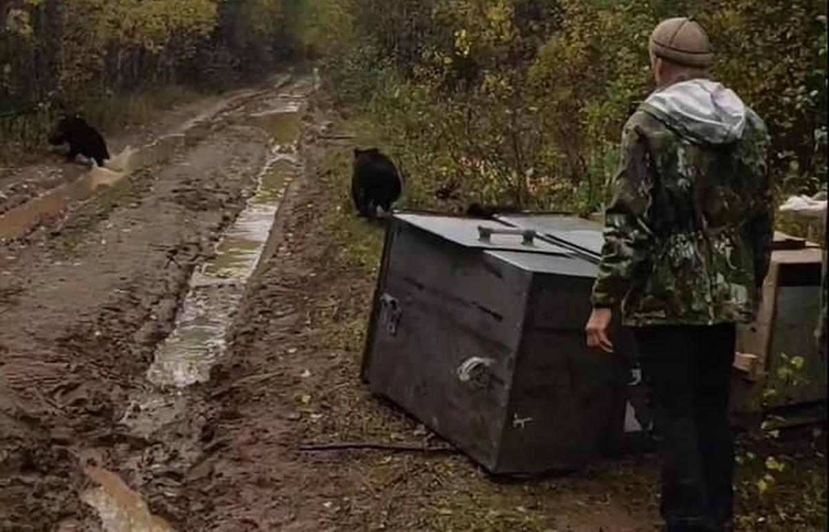 Трех медвежат, выращенных в Тверской области, вернули в родные леса