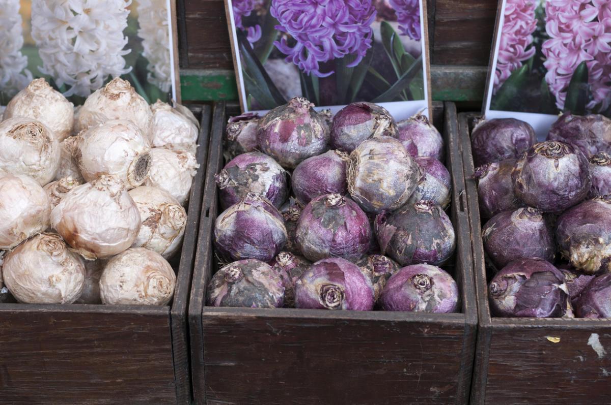 Покупка цветущих луковиц – большой риск для садовода