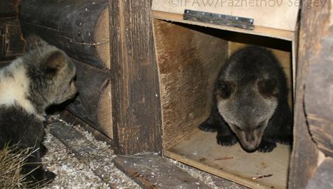 Пятеро питомцев Центра спасения медведей в Тверской области переехали из яслей в вольер