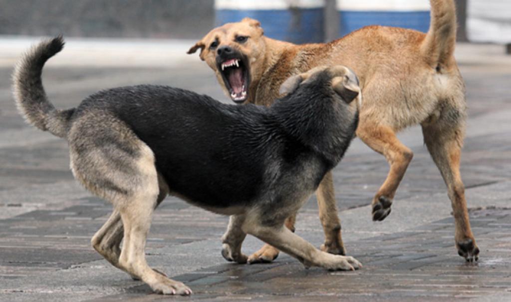 В Кимрах бродячие собаки оккупировали детскую площадку - новости Афанасий
