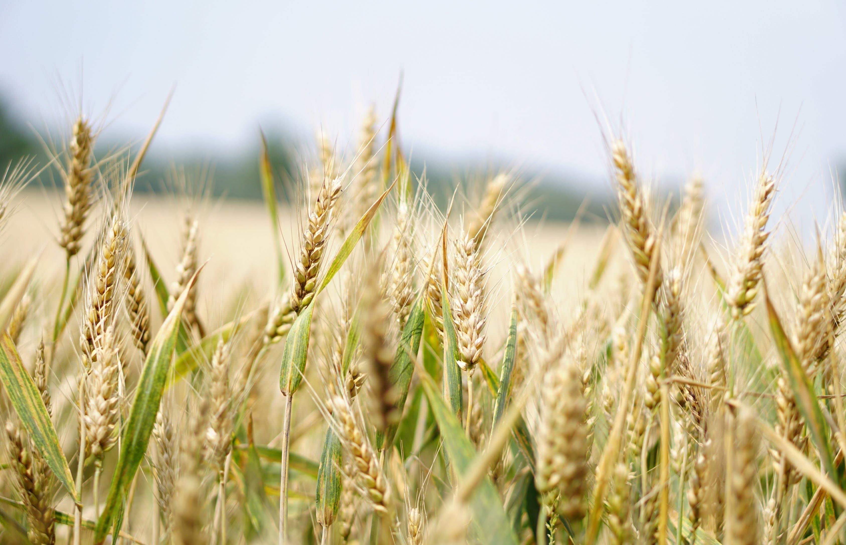 Хозяйствующим субъектам, осуществляющим деятельность по выпуску в оборот, закупке зерна и продуктов его переработки, дали рекомендации - новости Афанасий