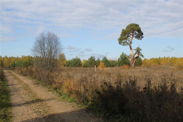 Древняя сосна, растущая в Кашинском округе, претендует на победу в конкурсе «Российское дерево года»