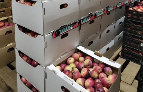 В Твери уничтожили больше 200 кг запрещенных яблок - новости Афанасий