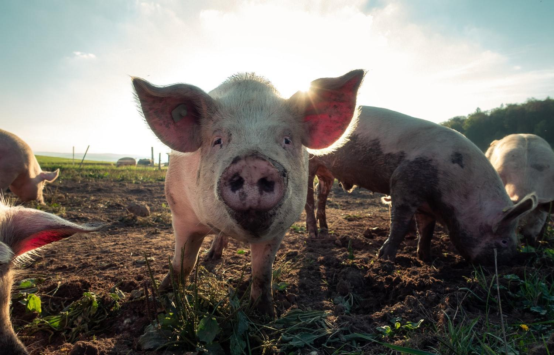 Воспрепятствование изъятию свиней при АЧС приводит к административной ответственности - новости Афанасий
