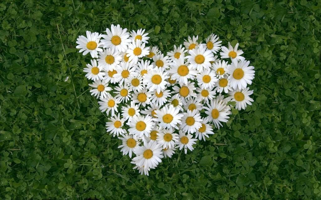 В Твери в день памяти святых Петра и Февроньи пройдет акция «Дарите ромашки любимым»