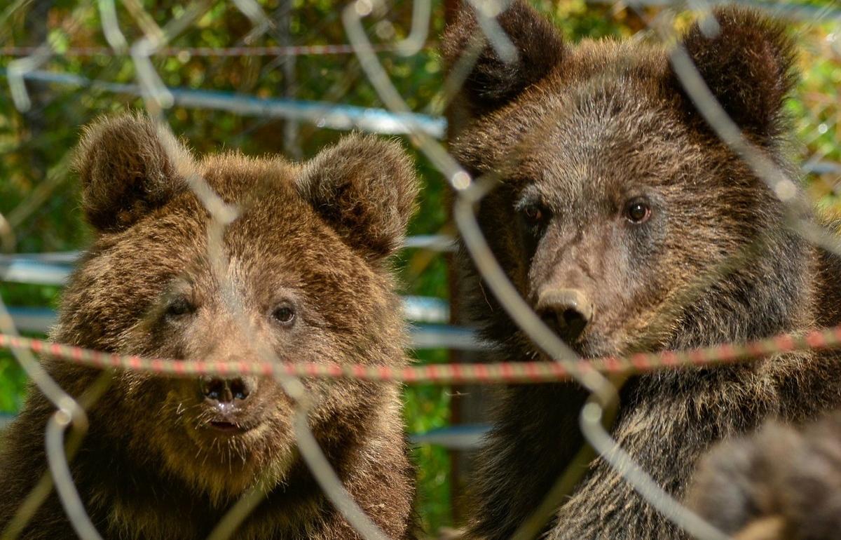 Тверские биологи помогли коллегам спасти алтайских медвежат Мишу, Машу и Тёпу