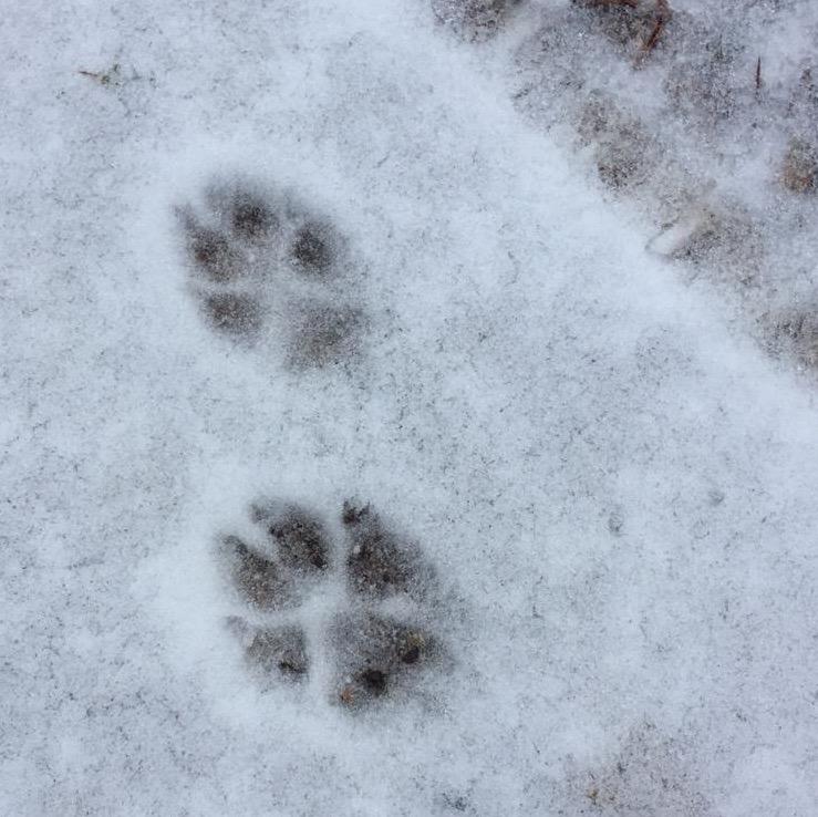 след волка на снегу фото